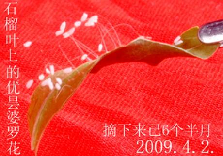 辽宁盘锦绽放优昙婆罗花,开在金银花叶子上经过百日时的写真。(摄影: 大陆法轮功学员 / 大纪元)