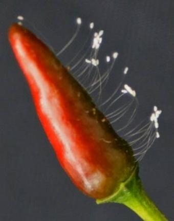 辣椒上开的优昙婆罗花,时过一个多月仍然挺拔。(图:正见网)